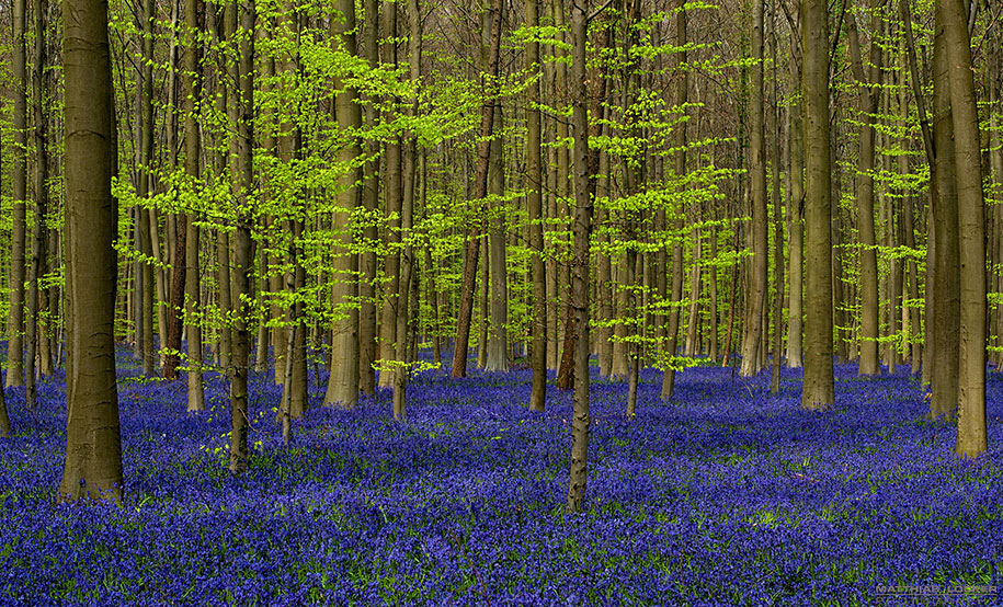 Every spring this forest in Belgium becomes a blue Wonderland 06