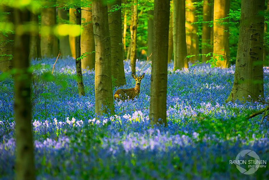 Every spring this forest in Belgium becomes a blue Wonderland 07