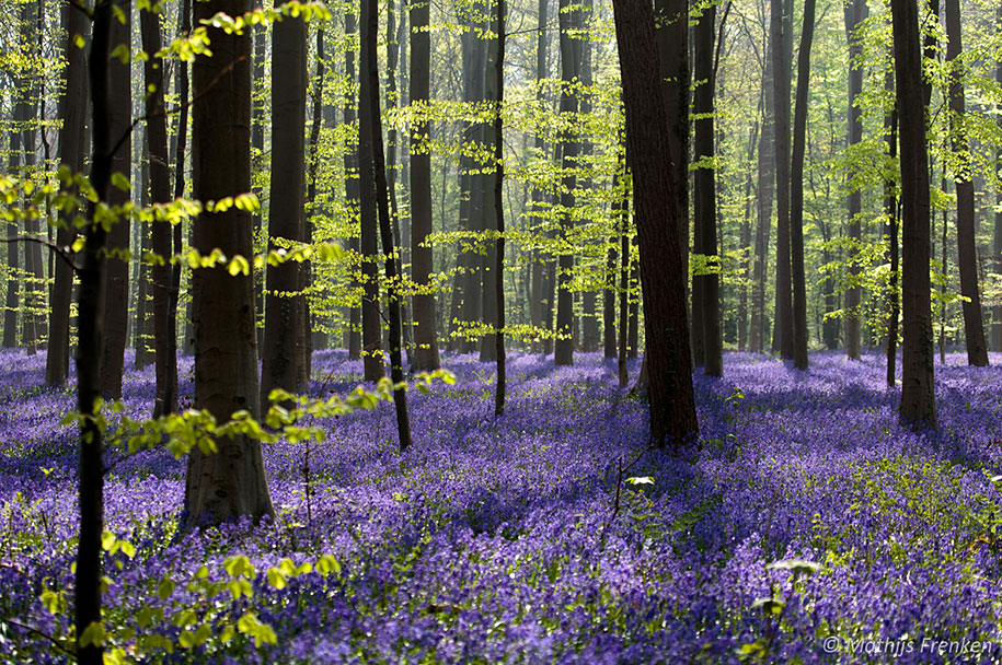 Every spring this forest in Belgium becomes a blue Wonderland 10