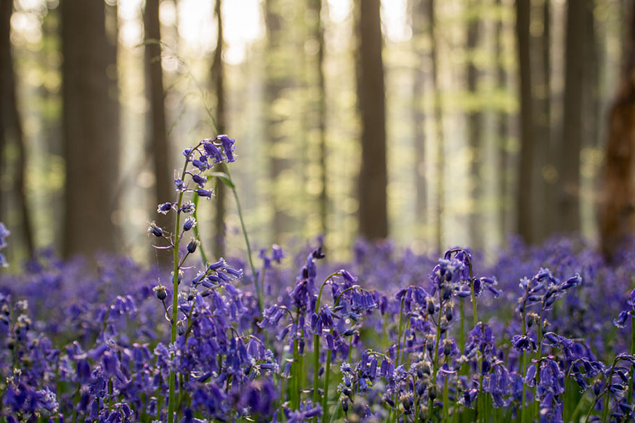 Every spring this forest in Belgium becomes a blue Wonderland 13