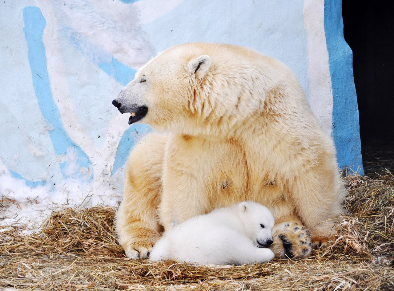 In Novosibirsk zoo has identified Paul white bear 03