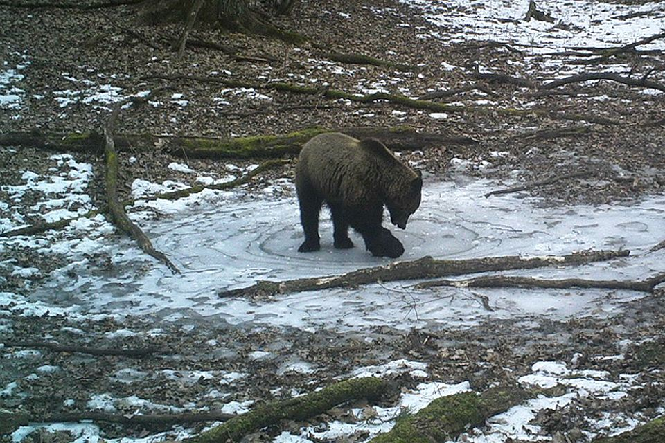 In the Bryansk forest a camera videotaped the bear playing on the ice 01