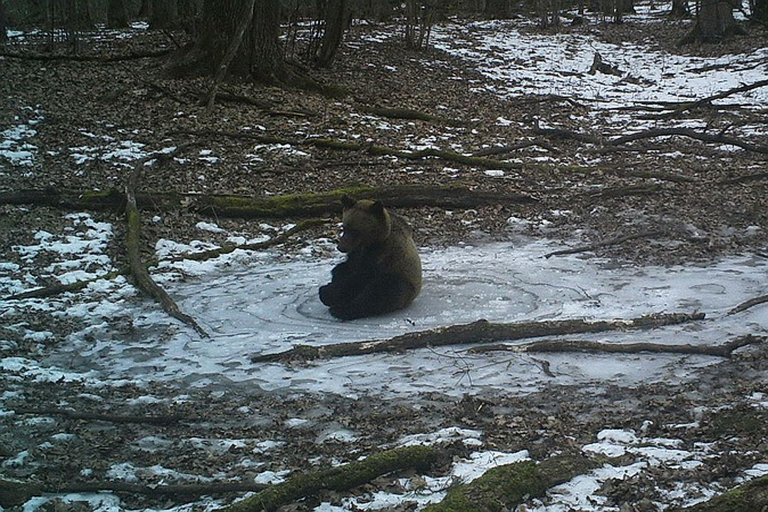 In the Bryansk forest a camera videotaped the bear playing on the ice 02