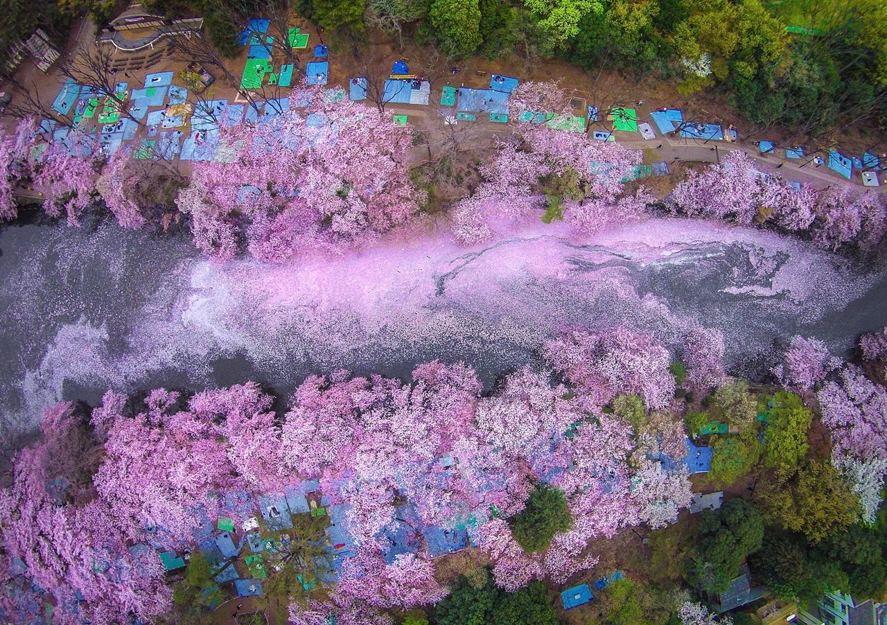 Магические фотографии японской сакуры от National Geographic