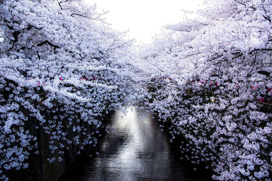 Magical pictures of Japanese cherry trees from National Geographic 02