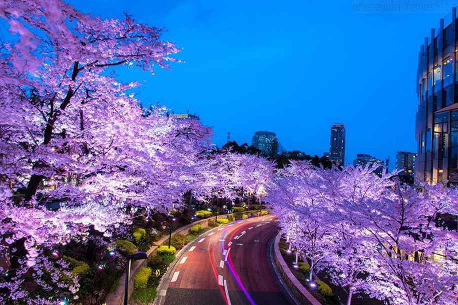 Magical pictures of Japanese cherry trees from National Geographic 06