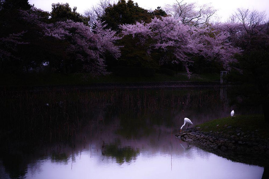 Magical pictures of Japanese cherry trees from National Geographic 07
