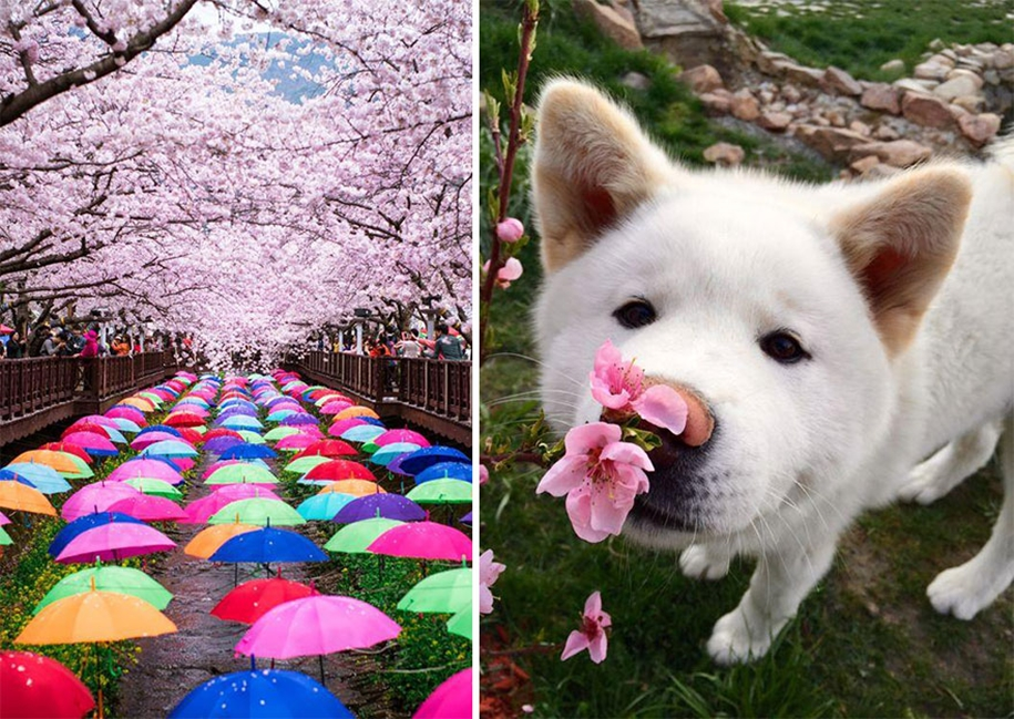 Magical pictures of Japanese cherry trees from National Geographic 09