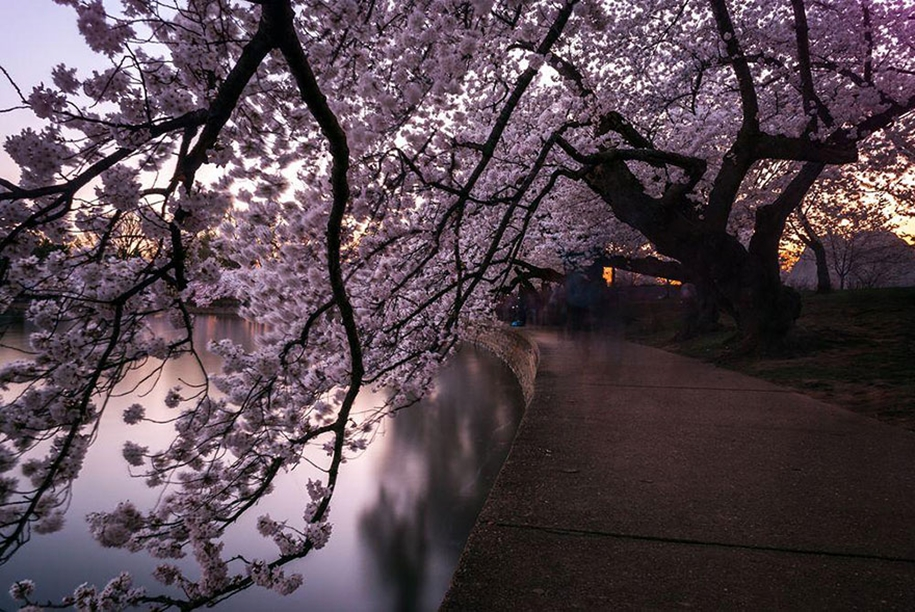 Magical pictures of Japanese cherry trees from National Geographic 13