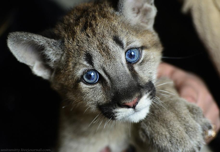 Единственная на Дальнем Востоке пума поселилась в зоопарке «Чудесный» под Уссурийском