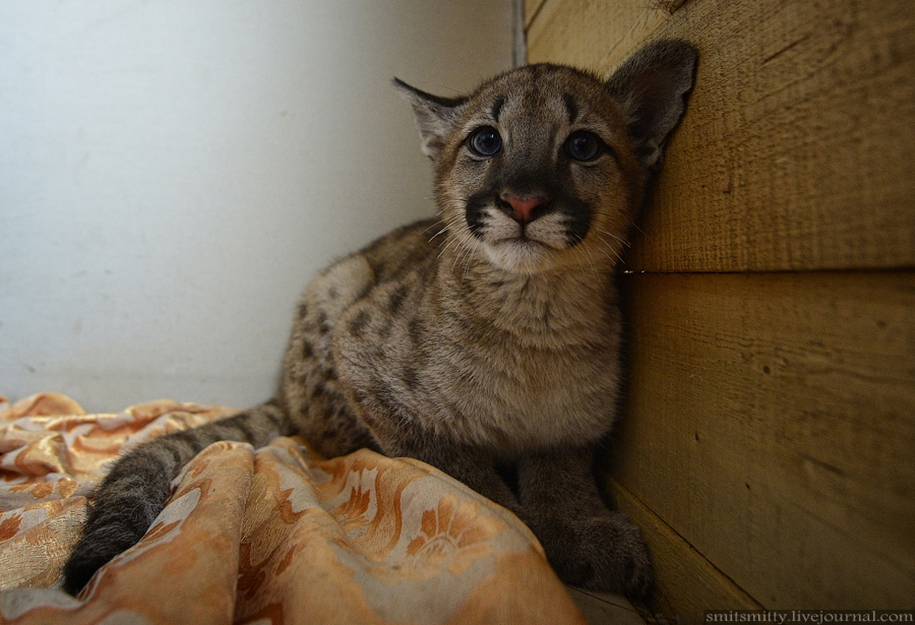Only in the far East Puma lived in the zoo -Wonderful- near Ussuriisk 11