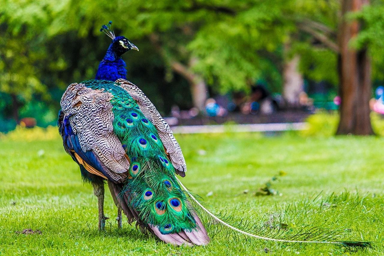 Павлин — величественная птица дворцов