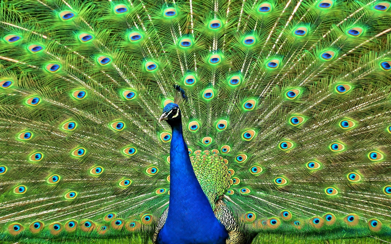 Peacock is a majestic bird palaces 02