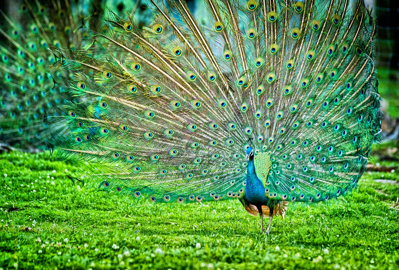Peacock is a majestic bird palaces 03