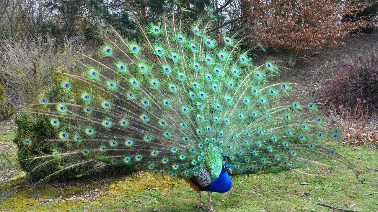 Peacock is a majestic bird palaces 05
