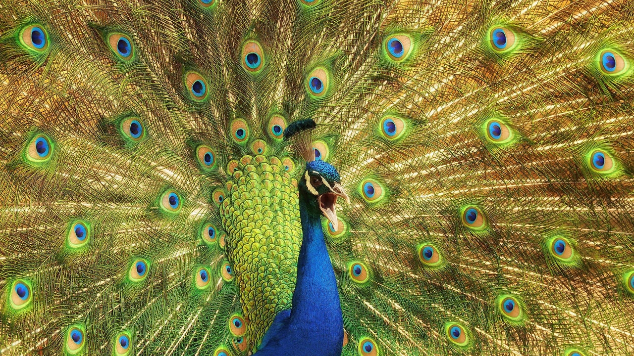 Peacock is a majestic bird palaces 06
