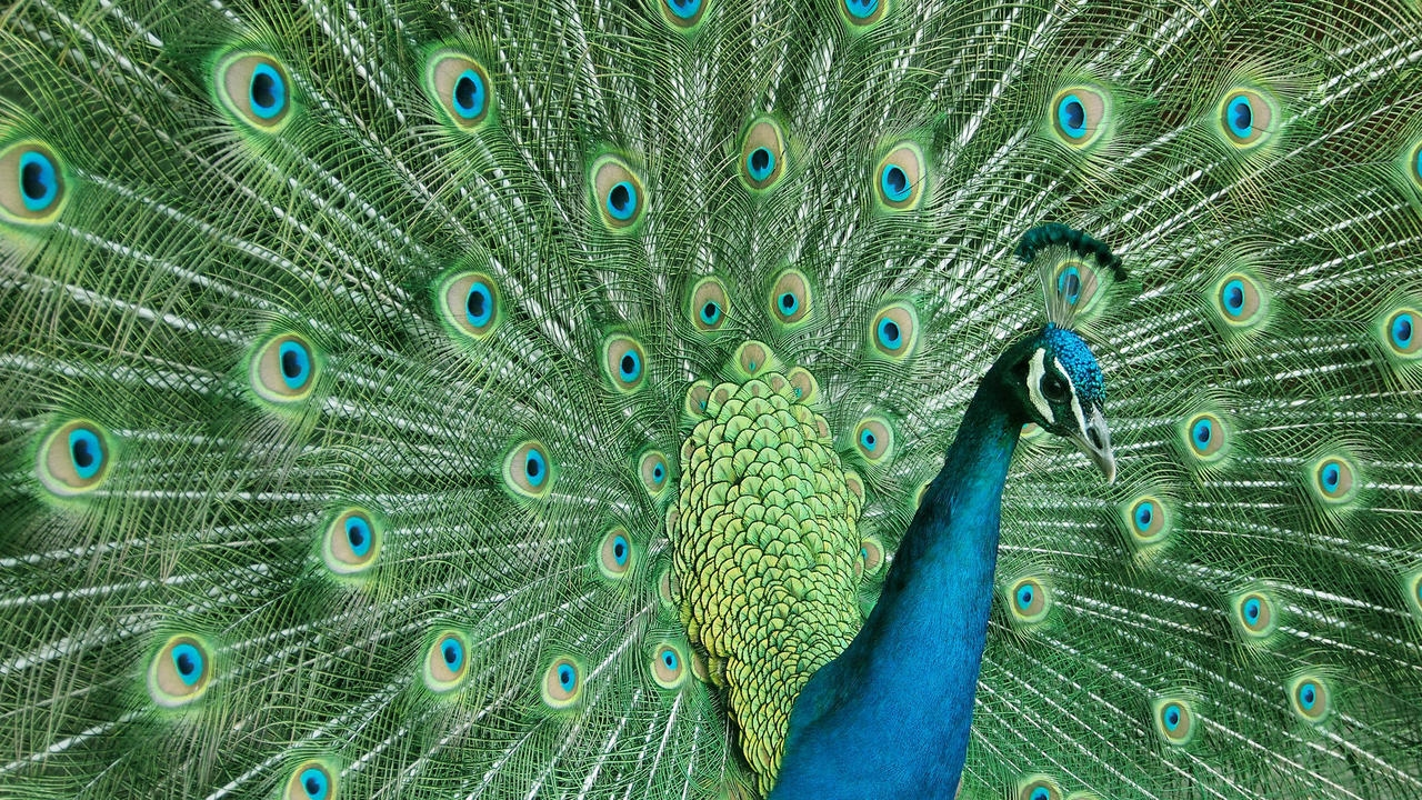 Peacock is a majestic bird palaces 07