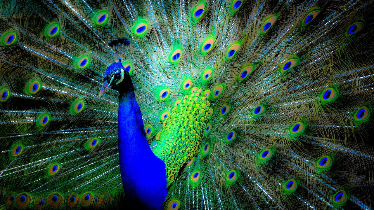 Peacock is a majestic bird palaces 08