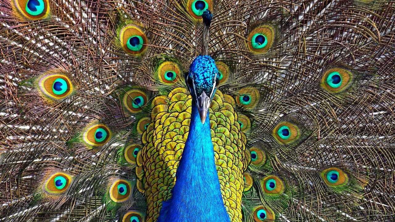 Peacock is a majestic bird palaces 09