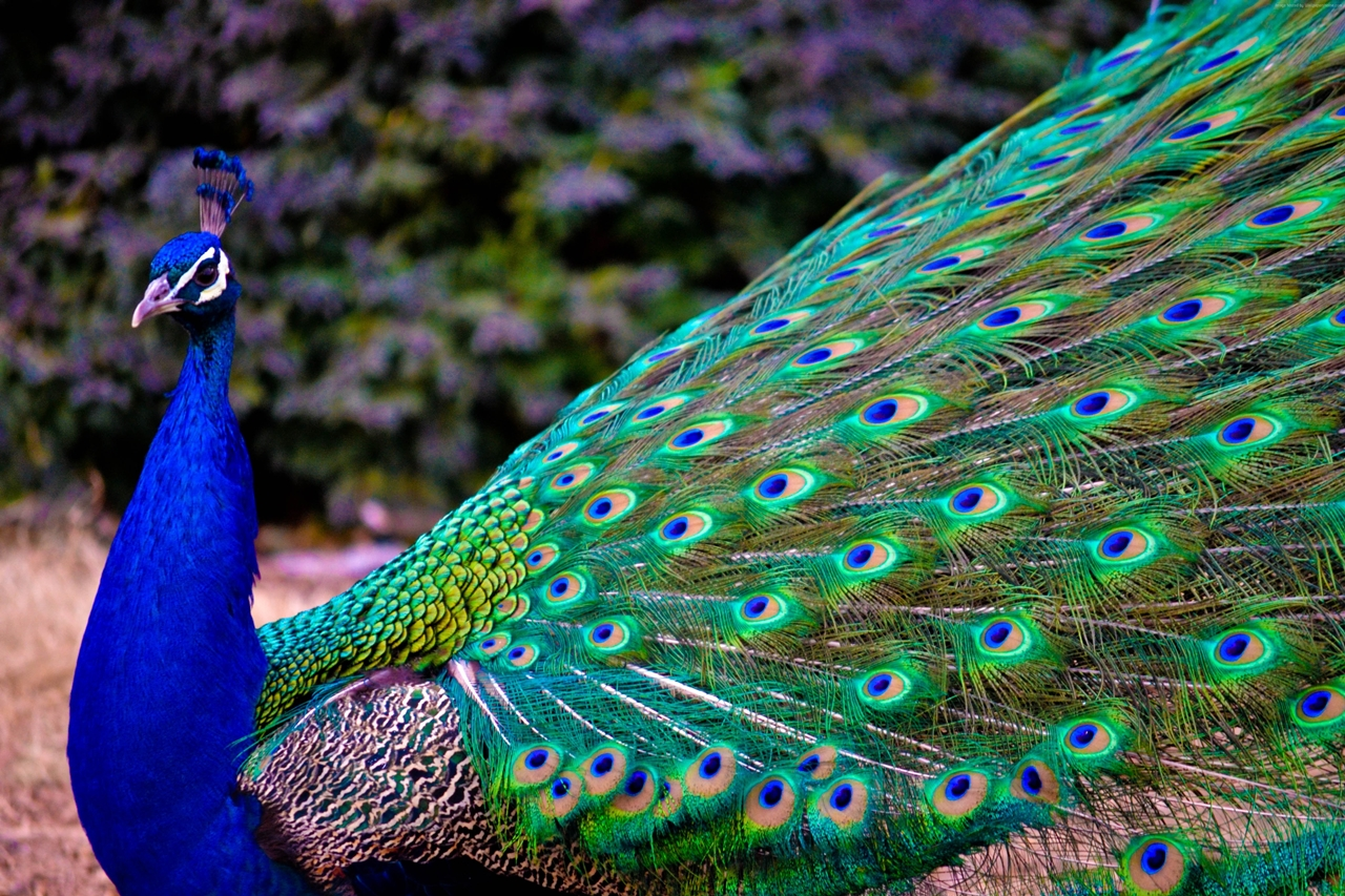 Peacock is a majestic bird palaces 11