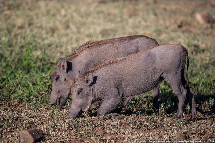 Pumbaa exist 06