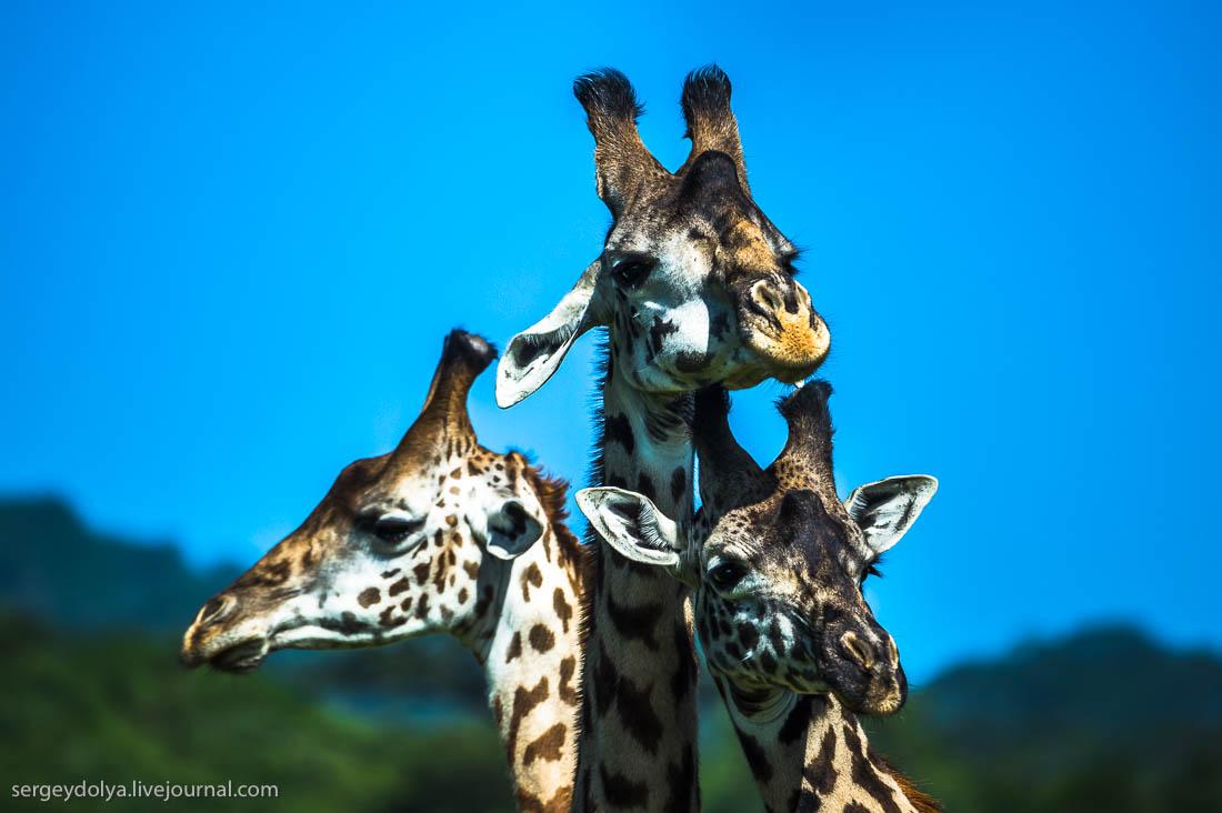 Safari in Tanzania 16
