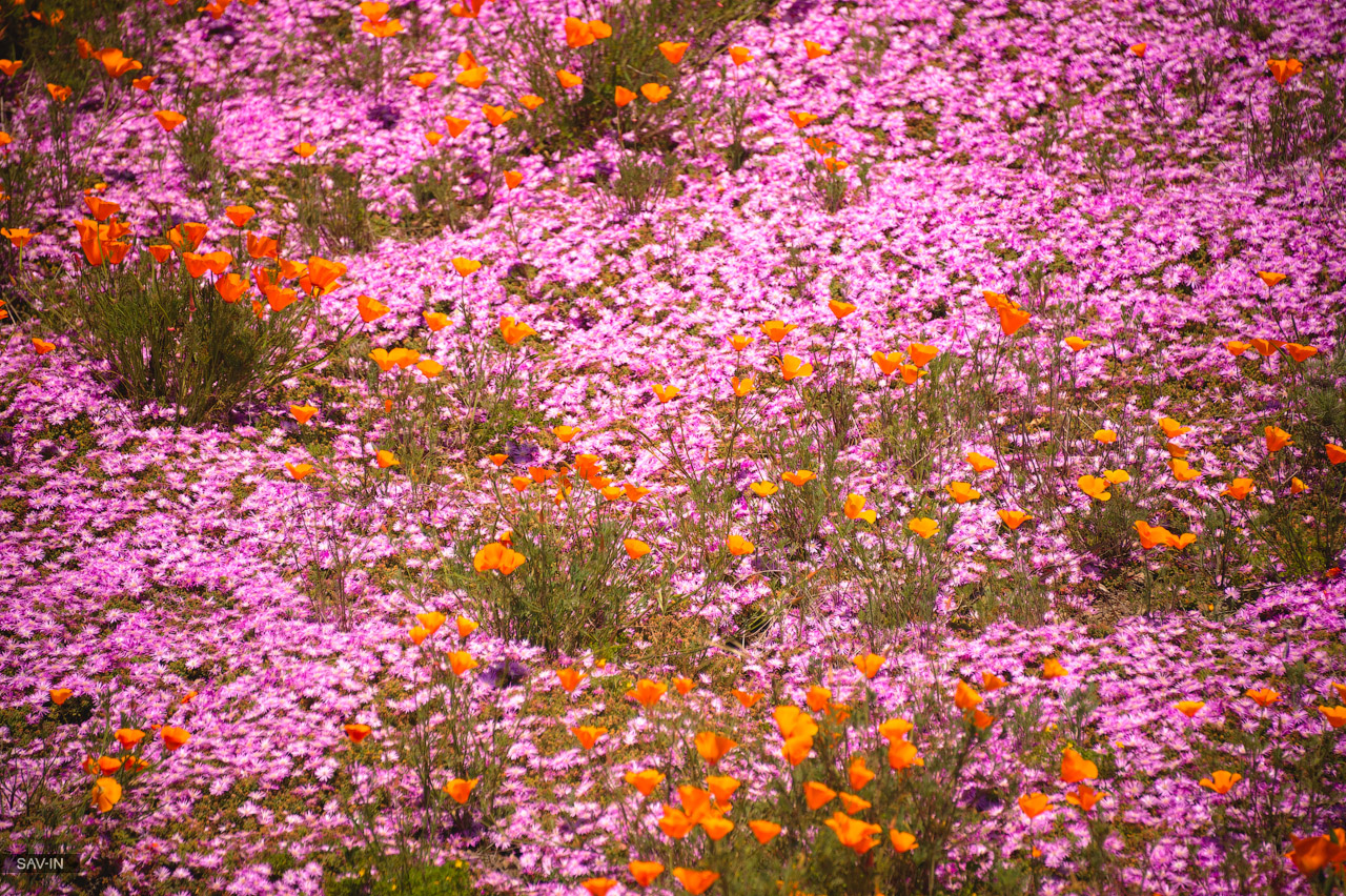Santa Barbara and the California coast flowering 25