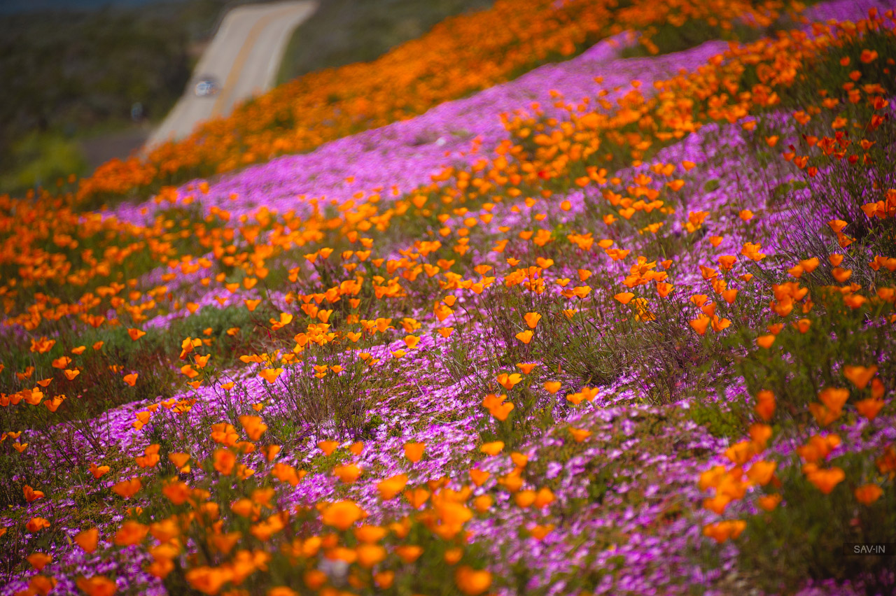 Santa Barbara and the California coast flowering 26