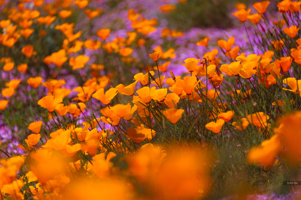 Santa Barbara and the California coast flowering 27
