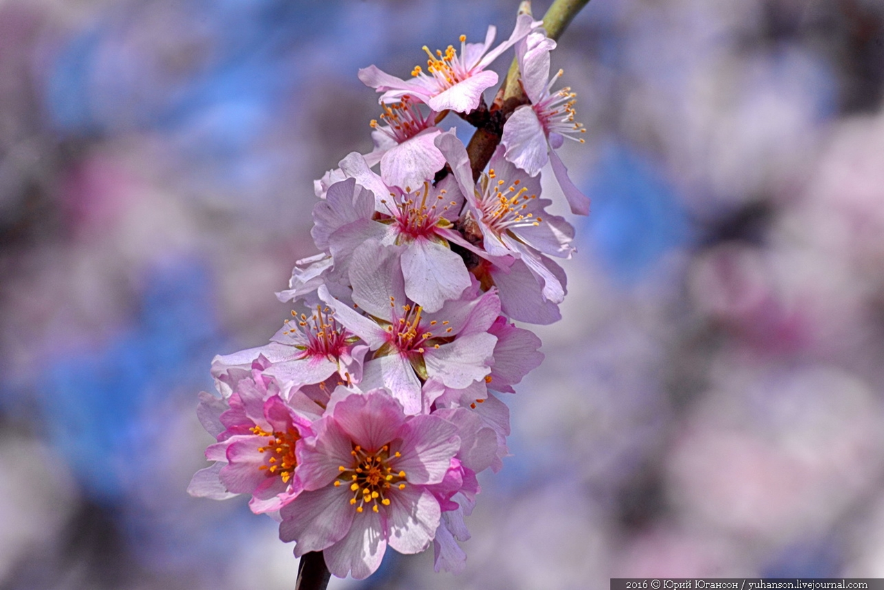 Spring. The almond trees are blossoming 03