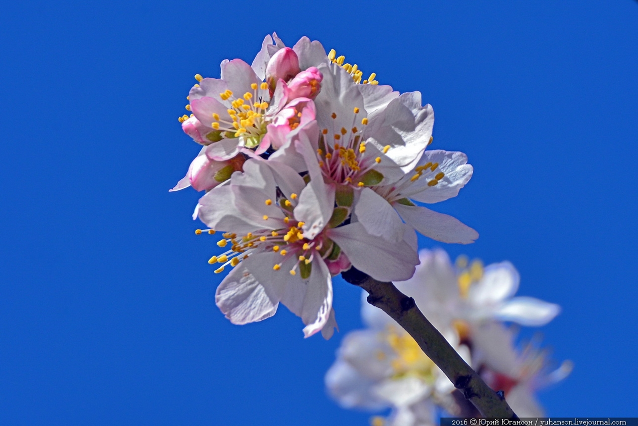 Spring. The almond trees are blossoming 09
