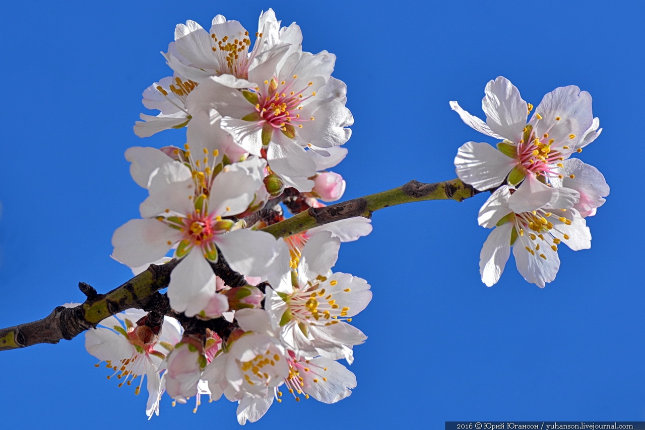 Spring. The almond trees are blossoming 11