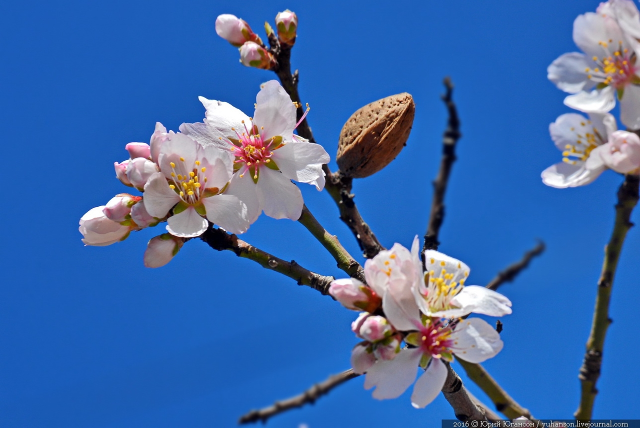 Spring. The almond trees are blossoming 12