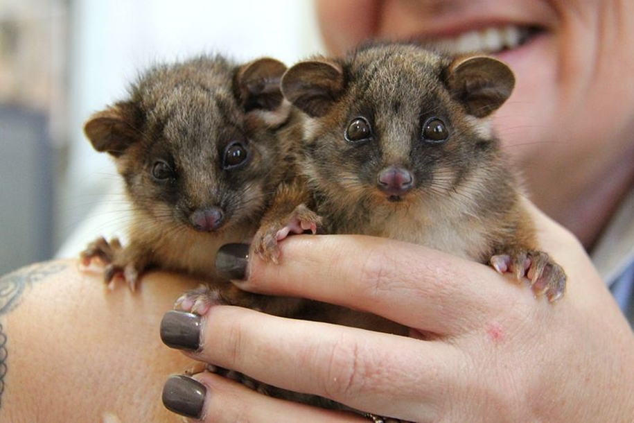 The Taronga zoo has sheltered orphaned opossums 02