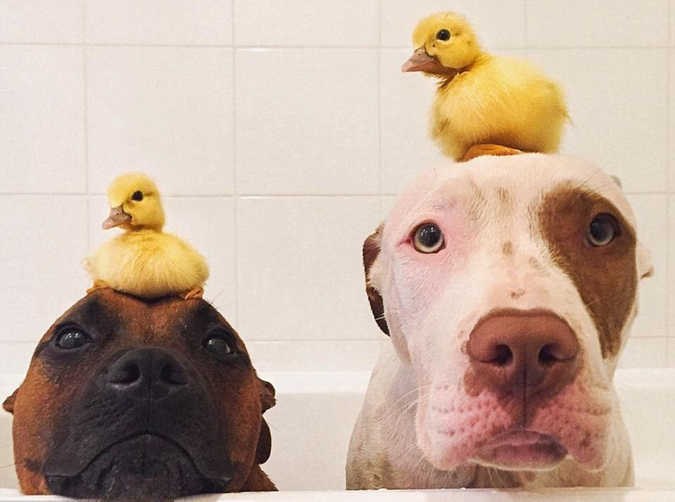 The dog made friends with ducklings 01