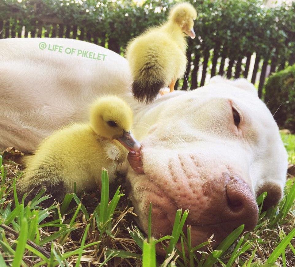The dog made friends with ducklings 03