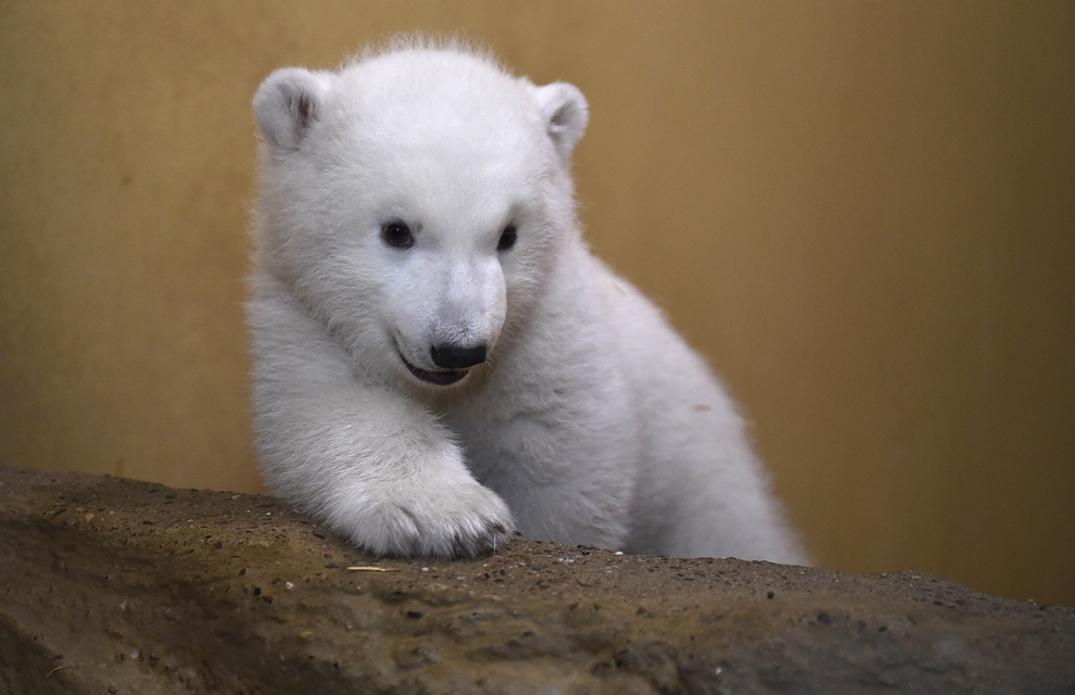 The first day of the polar bear 01