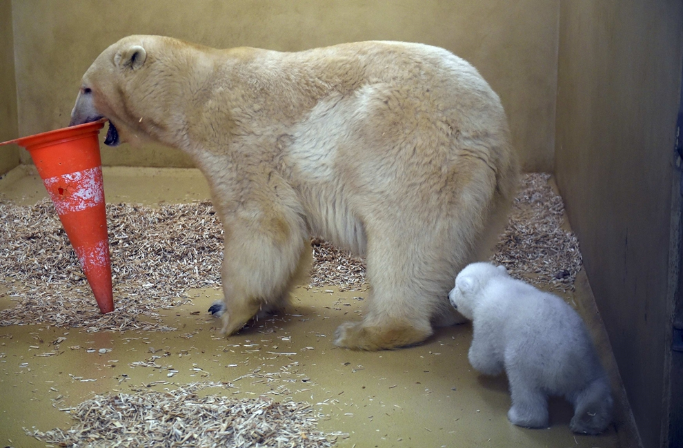 The first day of the polar bear 03