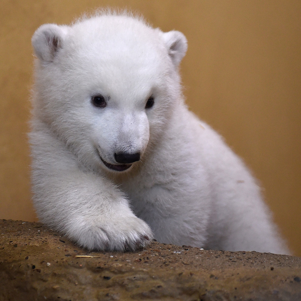The first day of the polar bear 11