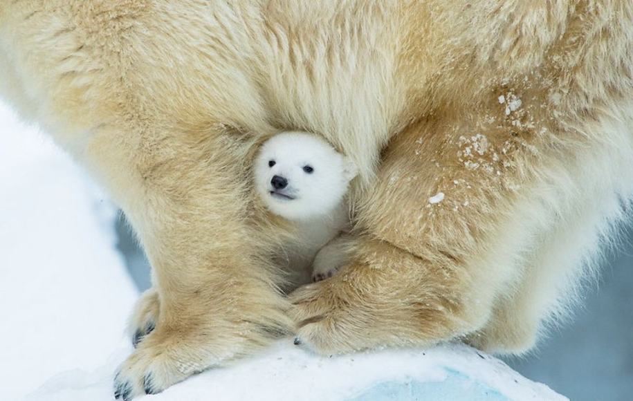 Touching photos of polar bears 05
