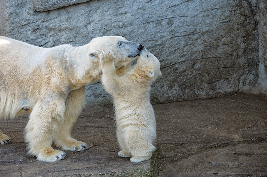 Touching photos of polar bears 07