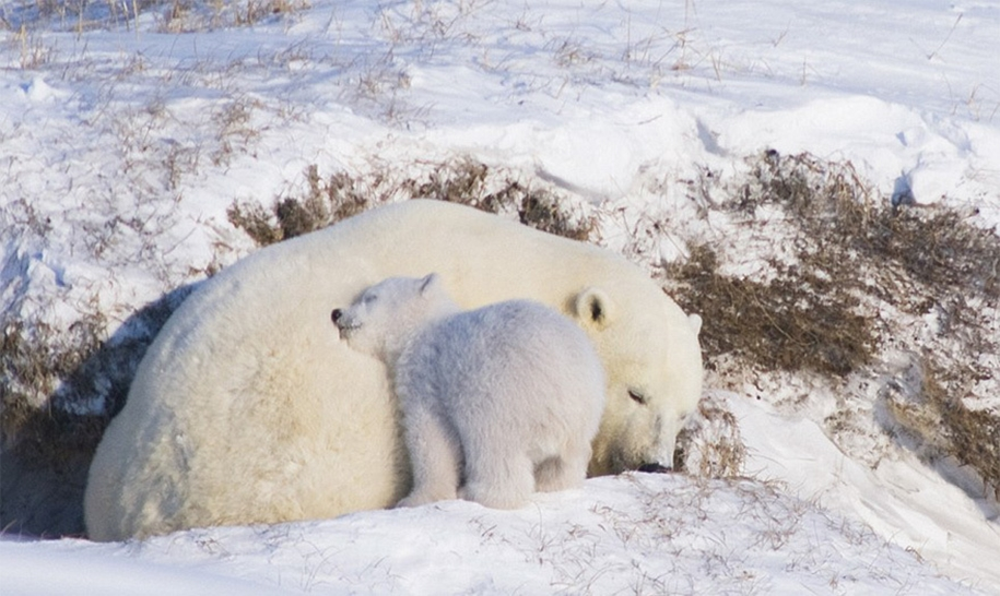 Touching photos of polar bears 09