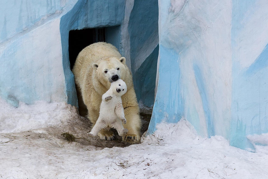 Touching photos of polar bears 10