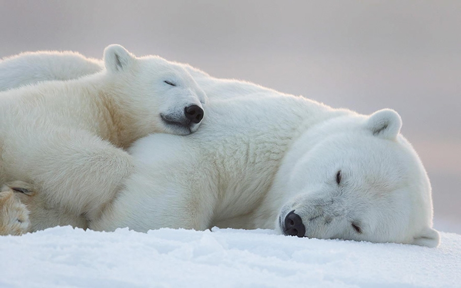 Touching photos of polar bears 13