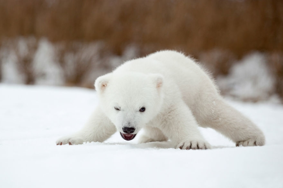Touching photos of polar bears 14