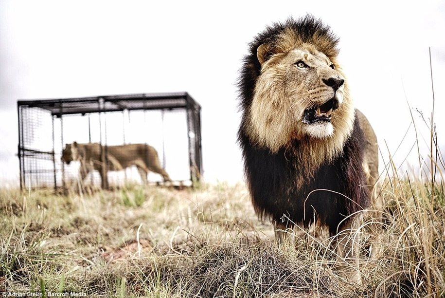 Walk with lions 04