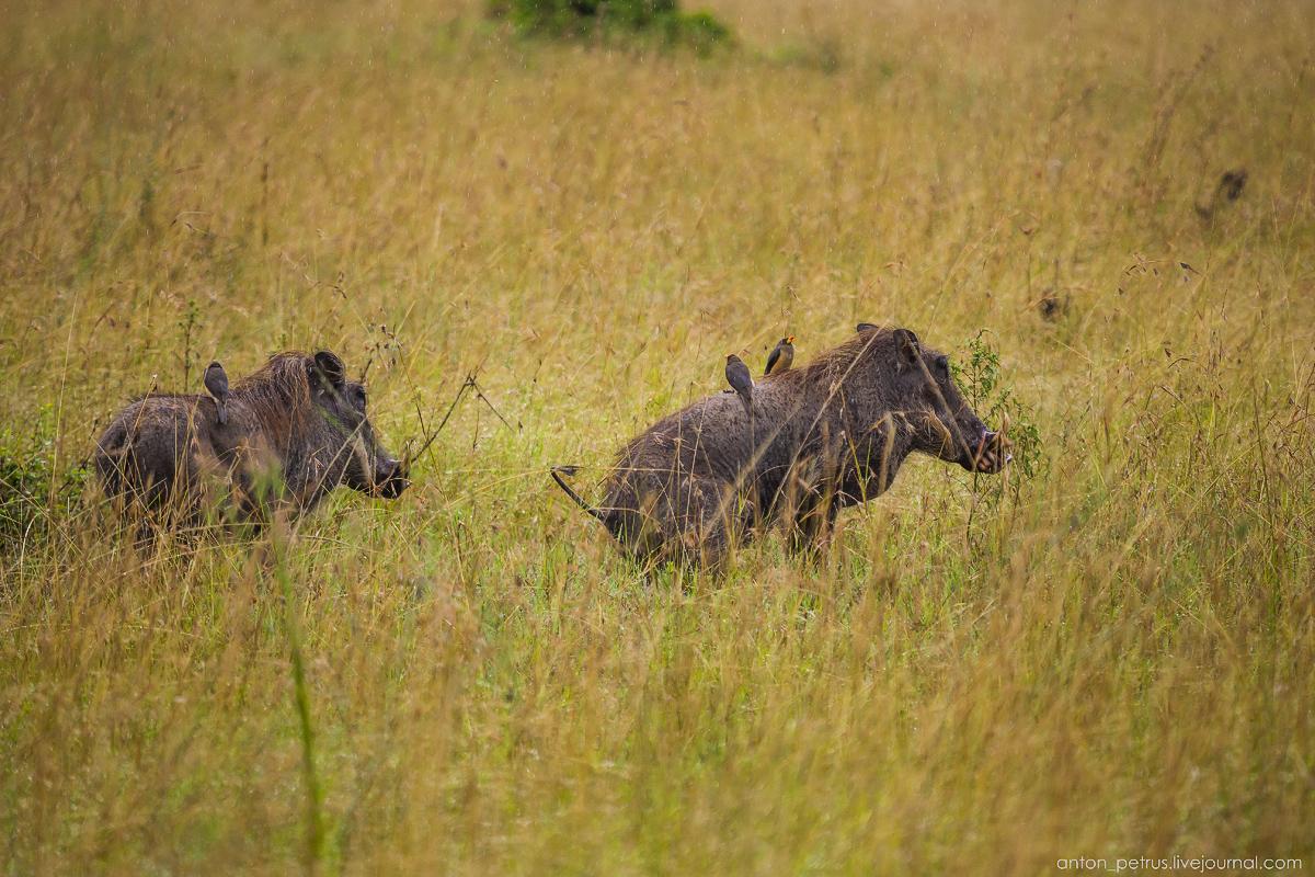 Africa Alive. Park Masai Mara 06