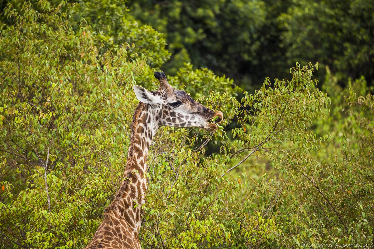 Africa Alive. Park Masai Mara 10