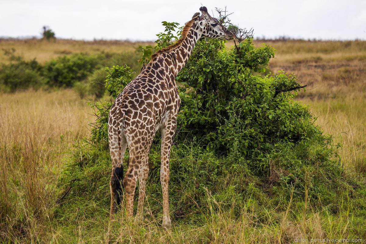 Africa Alive. Park Masai Mara 11