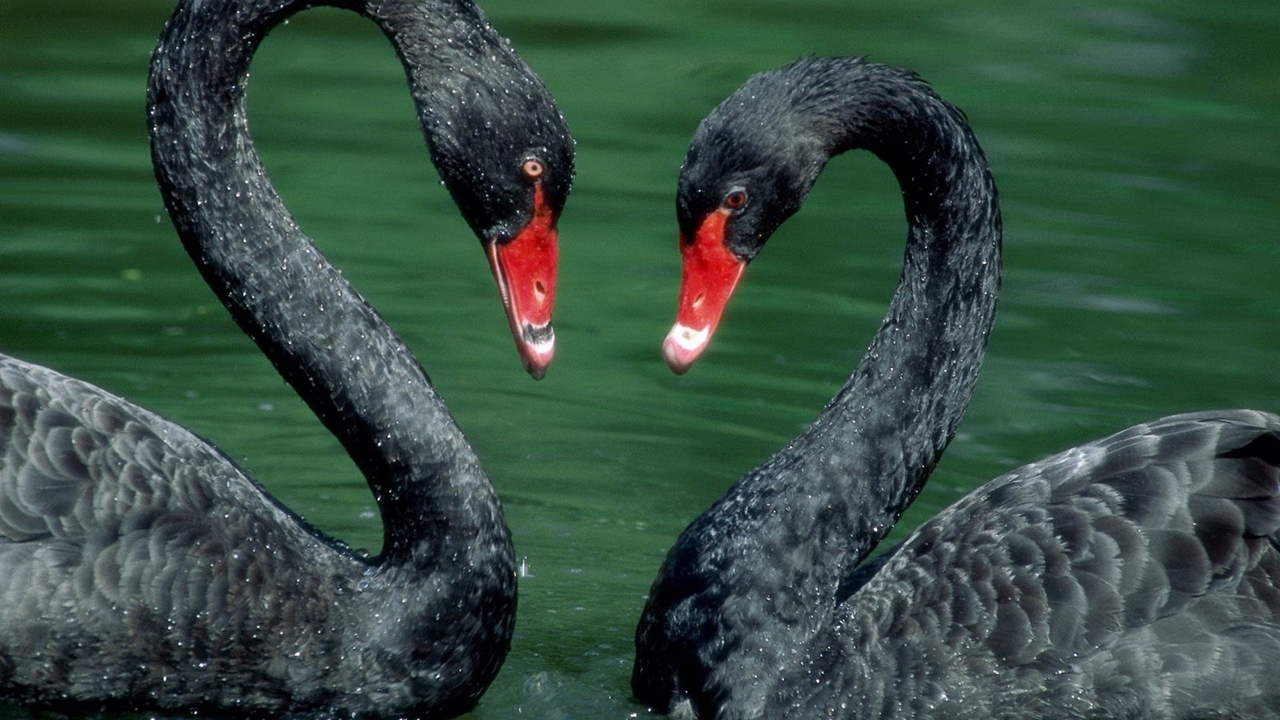 Black swans 01